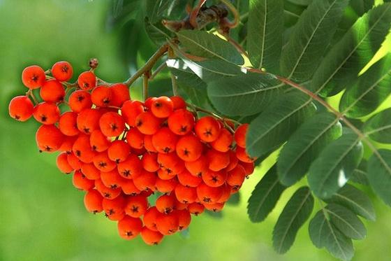 Веточка рябины, гроздь с ягодами